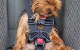 Перевозка больших собак в машине